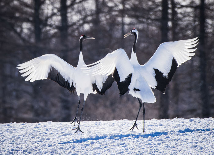White birds flying over snow covered land