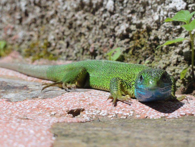 Animal Animal Themes Animals In The Wild Close Up Close-up Colorful Animal Day Eyem Nature Lovers  Focus On Foreground Green Color Lacerta Bilineata Lizard Lizard Watching No People One Animal Reptile Selective Focus Wildlife Zoology