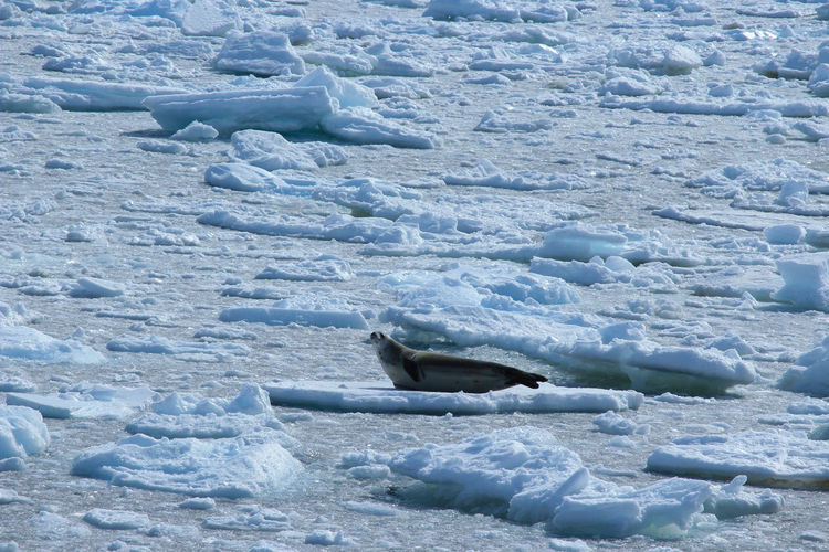 Cold Temperature Snow Winter Ice No People Frozen Day Nature Animal Themes Water Animals In The Wild Mammal Animal Animal Wildlife One Animal White Color Landscape Outdoors Melting Seal Sea Lion Elephant Seals Antarctica Travel Destinations