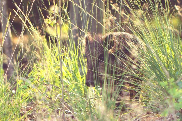 Baby Boar Boar Nature Wildlife Wildlife & Nature