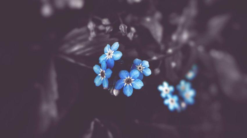Forget Me Nots Blue Flowers Color Splash