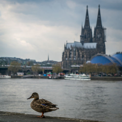 Animal Themes Animal Wildlife Animals In The Wild Architecture Bird Building Exterior Built Structure City Cologne Day Köln Nature No People One Animal Outdoors Sky Travel Destinations Water