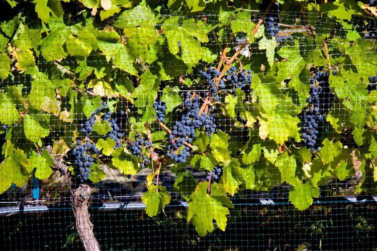 Inkameep Winery