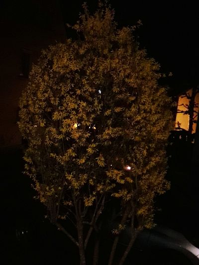 Springtime Nightphotography Forsithia Yellow Flower darkness and light Astronomy Illuminated Celebration Sky Close-up EyeEmNewHere