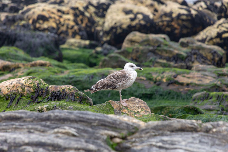 Seagull on Miramar beach Animal Animal Themes Animal Wildlife Animals In The Wild Beauty In Nature Bird Day Environment Nature No People One Animal Outdoors Perching Plant Rock Rock - Object Seagull Selective Focus Solid Vertebrate