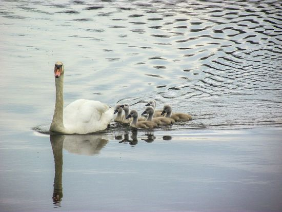 Swan Cygnets Walking Around Sunny Day❤ EyeEm Nature Lover EyeEmBirds EyeEm Best Shots - Nature Water Reflections Swan Lake Lake