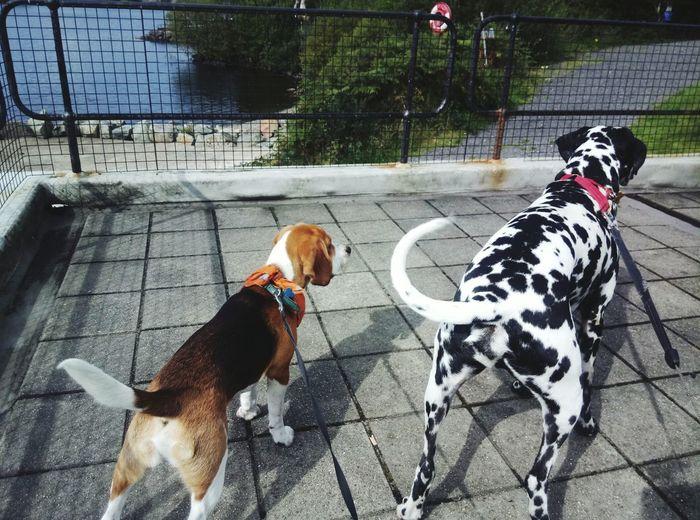 Dog Pets Domestic Animals Animal Themes No People Outdoors Wagging Tail Dalmation Beaglepuppy Beaglelife Beagleoftheday Beaglelovers