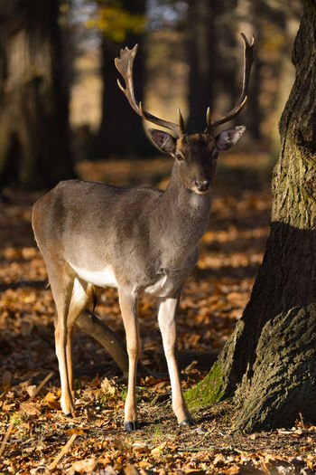 fallow deer Fallow Deer Stag Deer Leaves 🍁 Autumn colors EyeEm Selects Animal Wildlife Animals In The Wild Antler No People Animal Mammal Nature Full Length One Animal Outdoors Standing Day Beauty In Nature Tree Animal Themes