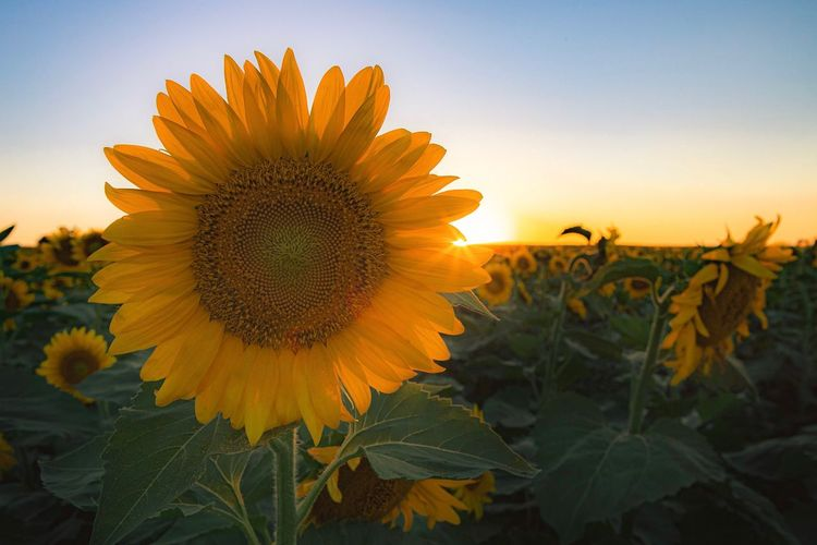 Close-up of sunflower against sky at sunset