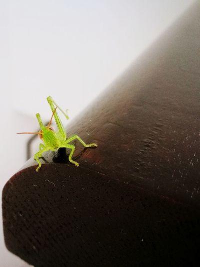grasshopper,inse
