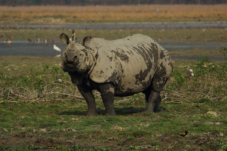 Animal Themes Animals In The Wild Assam Assam In Kazironga Place. Assam India People Silhouette Photography Travelphotography Beauty In Nature Day Full Length Grass Landscape Mammal Nature No People One Animal Outdoors Plain Rhinoceros Safari Animals Standing
