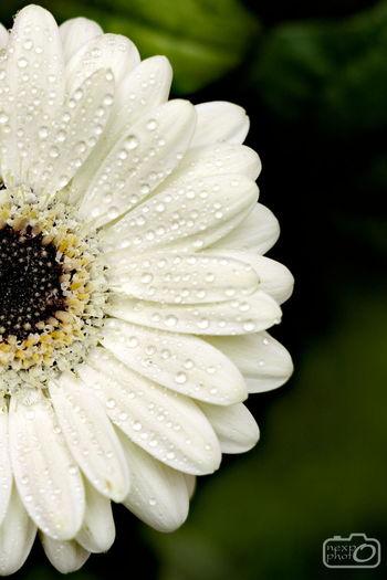 Beautiful white gerbera Close-up Daisy Dog Flower Fresh Gerbera Growth Macro Nature No People Water White