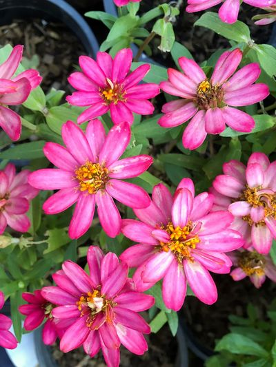 Beautiful Natural Nature Pink Zinnia  Zinnia Angustifolia Zinnia Elegans Beauty In Nature Bloom Blooming Blossom Close-up Day Flora Floral Flower Flower Head Fragility Freshness Garden Growth Nature No People Osteospermum Outdoors Petal Pink Color Plant Pollen Zinnia