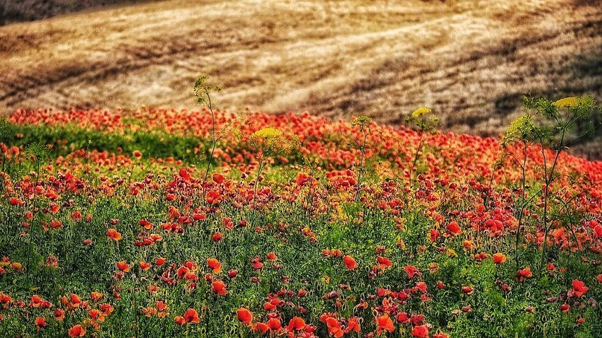Flower Rural Scene Agriculture Red Backgrounds Field Sunlight Full Frame Crop  Grass