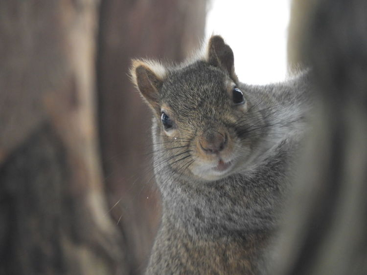 Squirrel Brown Squirrel EyeEmNewHere Hide And Seek Animal Wildlife Animal One Animal Animal Body Part Mammal Animals In The Wild Close-up Animal Head  Portrait Outdoors Nature No People Animal Themes Koala Day Ear