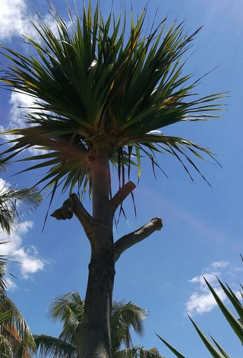 Blue Sky Pointed Leaves Low Angle View Tree Palm Tree Sky Plant Life