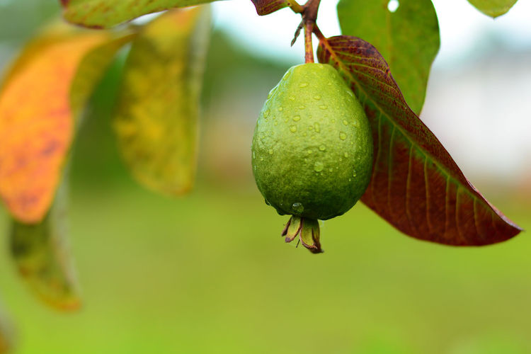 Close-up of guava on tree