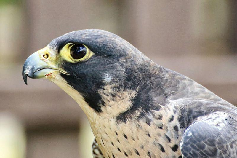 Close-up of hawk looking away