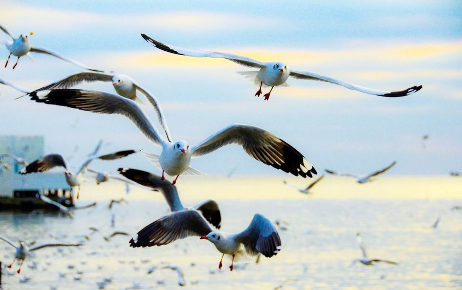 Seagulls flying at sunset Sunset Spread Wings Seagulls Seagull Animals In The Wild Bird Flying Animal Themes Animal Wildlife Nature Spread Wings Flock Of Birds Outdoors Motion Sky Mid-air Large Group Of Animals Beauty In Nature