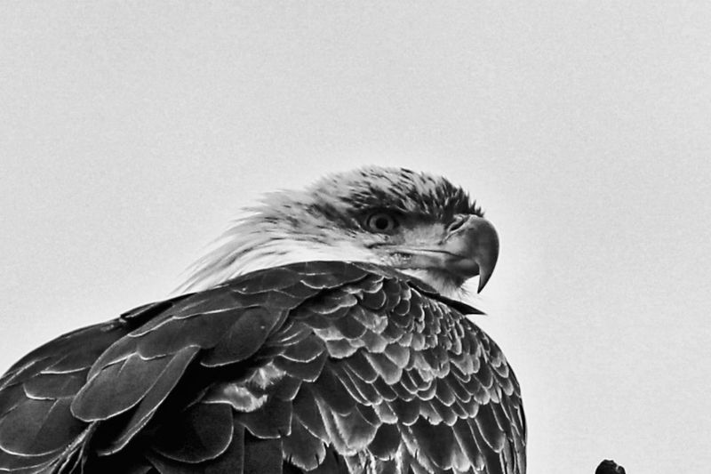 Bald Eagle Portrait Black & White Eagle EyeEm Selects Bird One Animal Animal Themes Vertebrate Animal Animal Wildlife Animals In The Wild Nature No People Sky Close-up Day Bird Of Prey Copy Space Clear Sky Beak Animal Body Part Feather  Low Angle View Outdoors