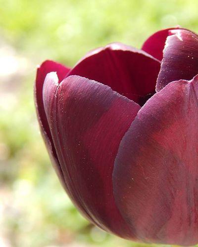 Melnā tulpe 🌷 Black tulip 🌷🌷🌷🌷🌷 Tulpe Tulip Flower Flowerandmacro Ig_flowers Fotofanatics_flowers_ Kings_flora Show_us_nature Best_free_shot Total_shot Amateurs_shot Fotofanatics_macro_ Vscomacro Macro_brilliance Macrophotography Macro Latvija Latvia