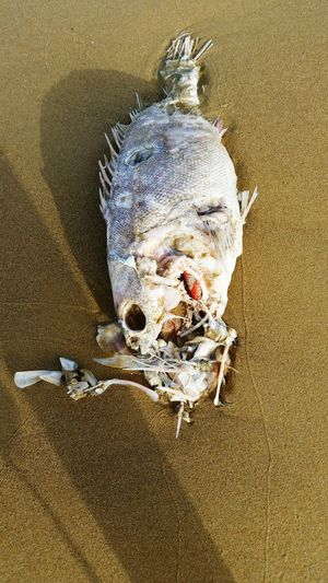 Putrefaction Rot Rotting Decay Decaying Verwesung Fisch Fish On The Beach Fish On Sand Fish On Land TOD Die Cadaver Strand Strange Fish Dead Fısh Dead Animal Beach Sand Close-up Animal Skeleton Coast Dead Uggly