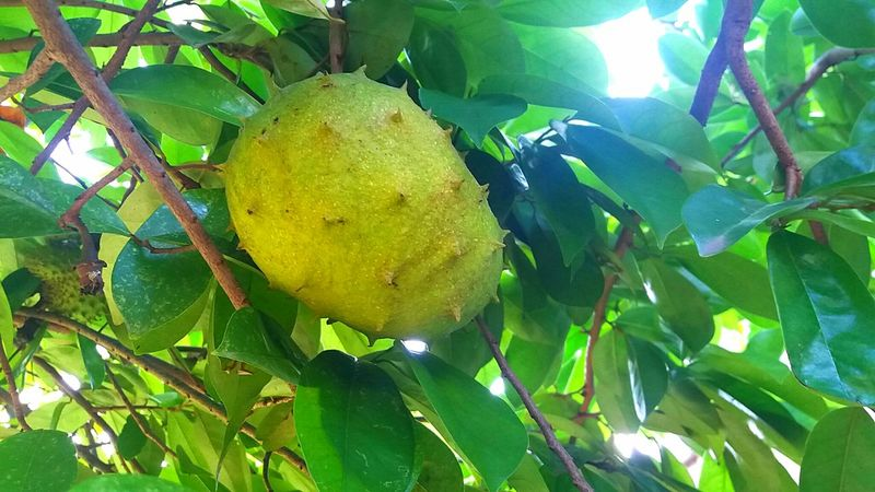 Guyabano fruit, soursop Guyabano Soursop Fruit
