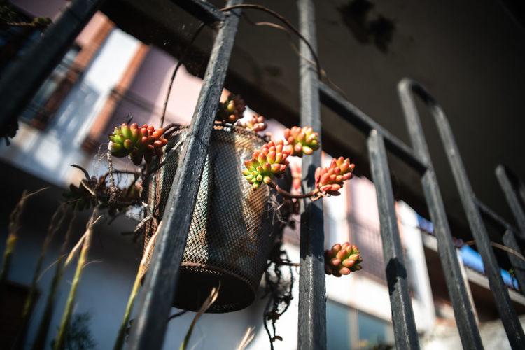 Sedum rubrotinctum on a metal pot haning from a metal fence