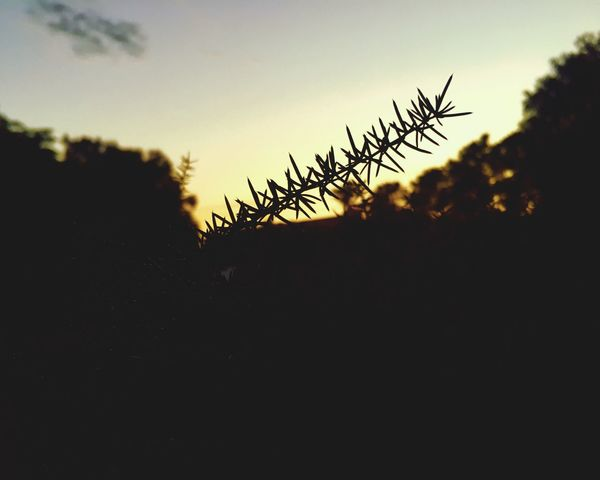 Sky Plant Silhouette Growth Nature Beauty In Nature Sunset Tranquility No People Copy Space Field Outdoors Tranquil Scene Tree Land Scenics - Nature Cloud - Sky Sunlight Freshness Low Angle View