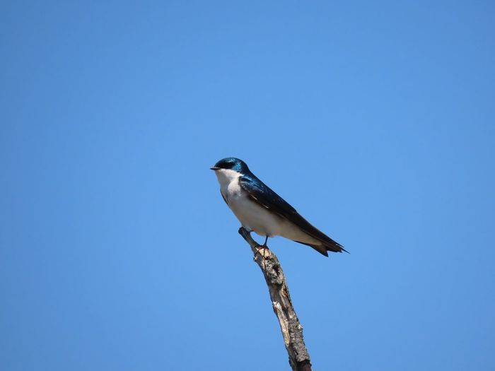 One little tree swallow perched on one little bare tree branch bright blue sky beauty in nature birds of EyeEm outdoors copy space Animal Themes One Animal Low Angle View No People