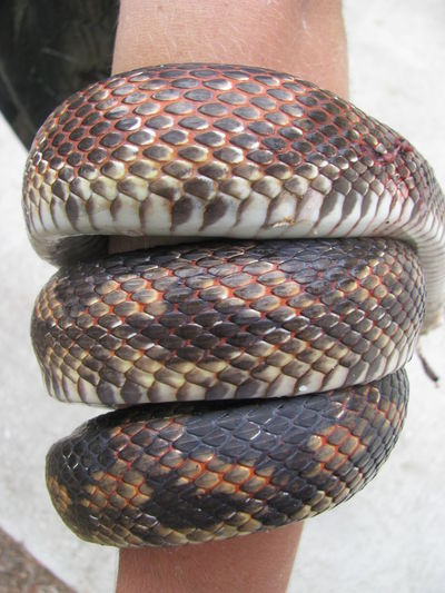 Snake Animal Themes Animals In The Wild Close-up Colorful Animal Colorful Snake Diamondback Water Snake Nature Reptile Snake Skin