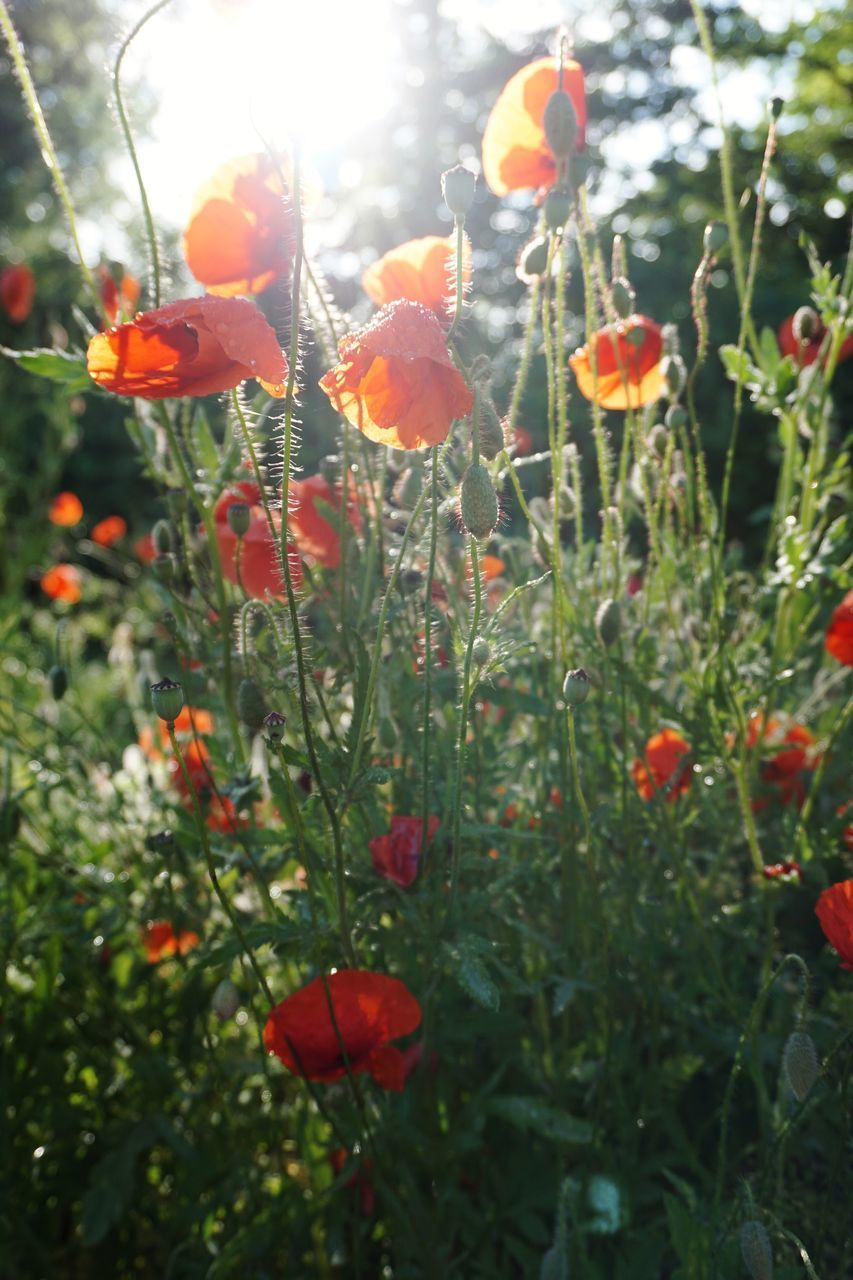 plant, growth, flower, flowering plant, beauty in nature, freshness, red, close-up, fragility, vulnerability, petal, nature, poppy, field, day, flower head, inflorescence, no people, focus on foreground, plant stem, outdoors, orange