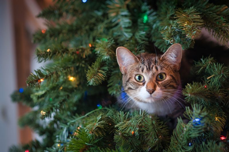 Portrait of cat peeping out of christmas tree