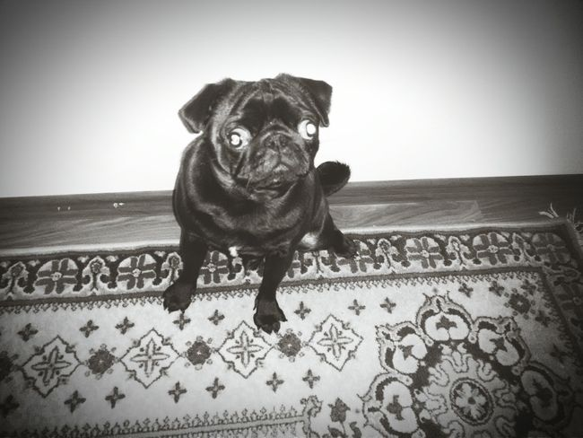 Mops Dog Dogs Dogstagram Dog Love Dog❤ DogLove My Crazy Dog <3 Crazy Dog Eye Ball