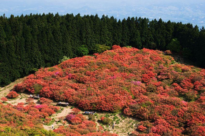 つつじ 葛城山 Flower Photography 高ぼっち Flowers, Nature And Beauty Flower Collection 山頂 EyeEm Japan Flowerlovers 5月 True Beauty EyeEm Nature Lover EyeEm Best Shots - Nature