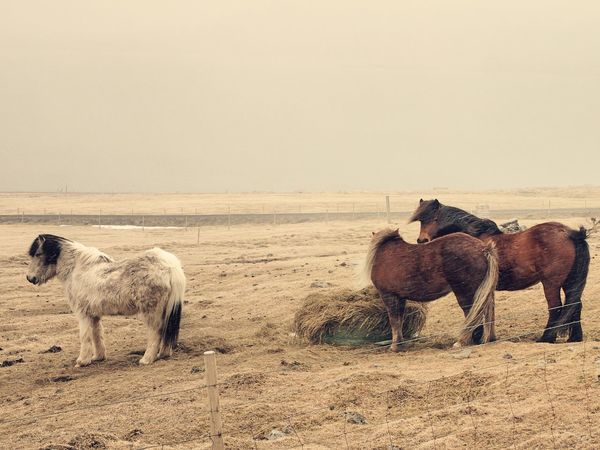Icelandic Horses Wanderlust Animal Themes Animals In The Wild Beauty In Nature Clear Sky Day Domestic Animals Full Length Horse Landscape Livestock Mammal Melancholy Nature No People Outdoors Sand Shittyweather Sky Standing Togetherness Windy