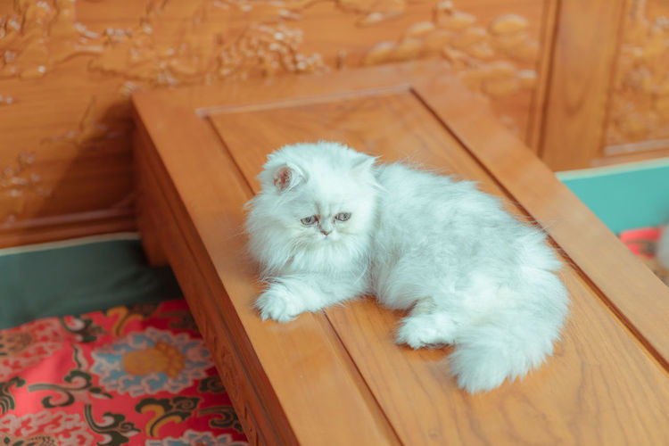 The pup of ginger cat. Artificial Cat Cat's Eyes Dock Ginger Hairstyle Kitten White Background Domestic Pets Mammal Animal Themes Animal Domestic Animals Vertebrate Domestic Cat Cat One Animal High Angle View Feline No People Indoors  White Color Relaxation Home Interior Looking Wood - Material Young Animal Whisker Persian Cat