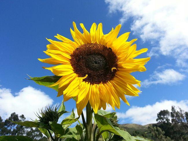 Girador al sol. Mauriciojacome Flowers San Isidro Girasol #flor #amarillo #sunflower #flower #yellow