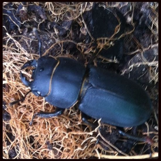 Look at this!! In my compost bin tonight!! About 2cm long, I checked out stag beetles, and other beetles, but cant see any with that 3rd eye thing. It was fierce and brave, it waved its jaws at my camera-phone but wandered deeper into the bin when if g Lesser Stag Beetle :-)