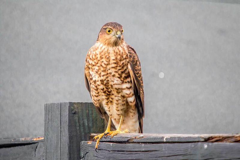 Sparrow Hawk Hawk Birds Birds Of Prey