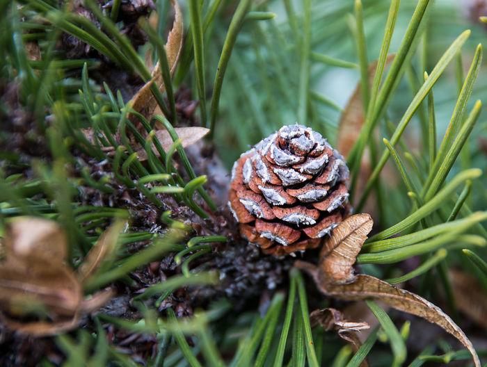 High angle view of pine cone on tree