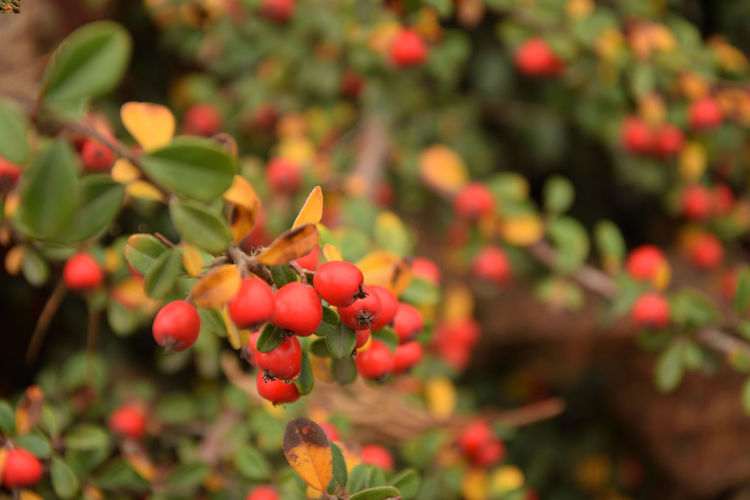 Red fruits of the cotoneaster in the autumn season Cotoneaster Cotoneaster Berries Plant Growth Freshness Plant Part Leaf Red Fruit Close-up Nature Beauty In Nature No People Day Berry Fruit Selective Focus Focus On Foreground Outdoors Ripe EyeEmNewHere