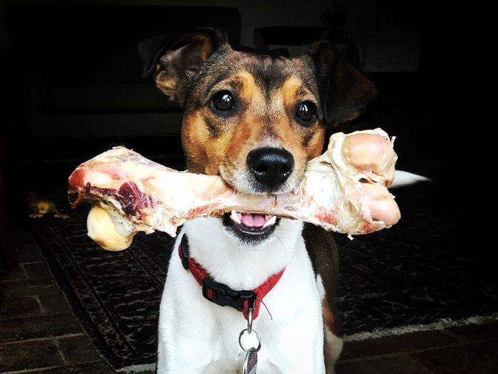 Small dog and big bone Dog Bones Bone  Knochen Pets Animal Themes Domestic Animals Looking At Camera One Animal No People Hund