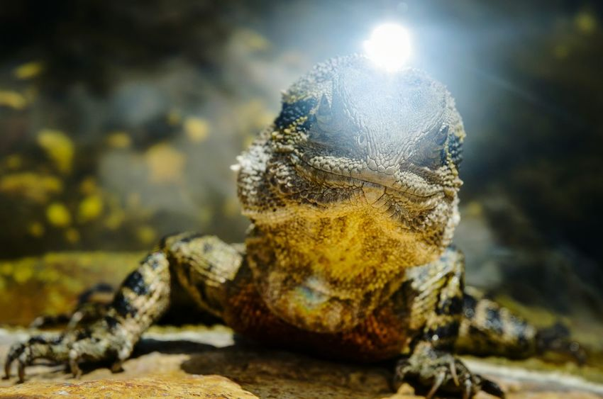 The Lizard has got a fricking Laser Beam Nikon D5100  EyeEm Nature Lover Animals In The Wild One Animal Reptile Close-up Lense Flare - Sun Burst