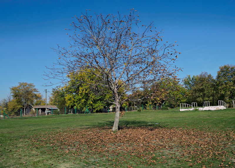 Walnut tree at field, with fallen leaves around it, autumn time Autumn Fashion Bare Tree Beauty In Nature Blue Branch Clear Sky Day Grass Growth Nature No People Outdoors Scenics Sky Tranquility Tree Walnut