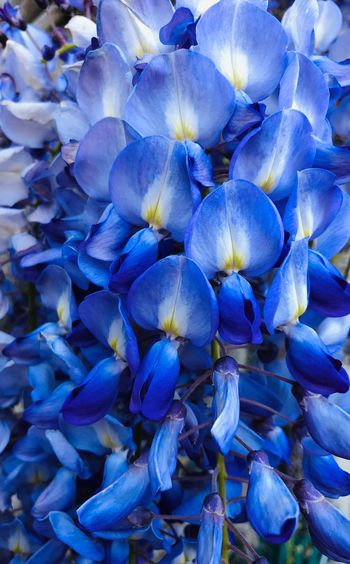 Blue as Blue can be Flower Flowering Plant Beauty In Nature Plant Freshness Close-up Growth Nature Inflorescence Purple Fragility Full Frame Flower Head Day High Angle View No People