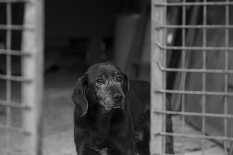 Portrait of a dog in black and white Asturias Horizontal SPAIN Young Animal Black And White Cage Canine Cute Day Dog Looking At Camera Mammal No People One Animal Pets Portrait Spring Village