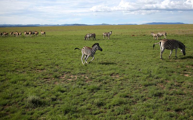 Zebra in a field