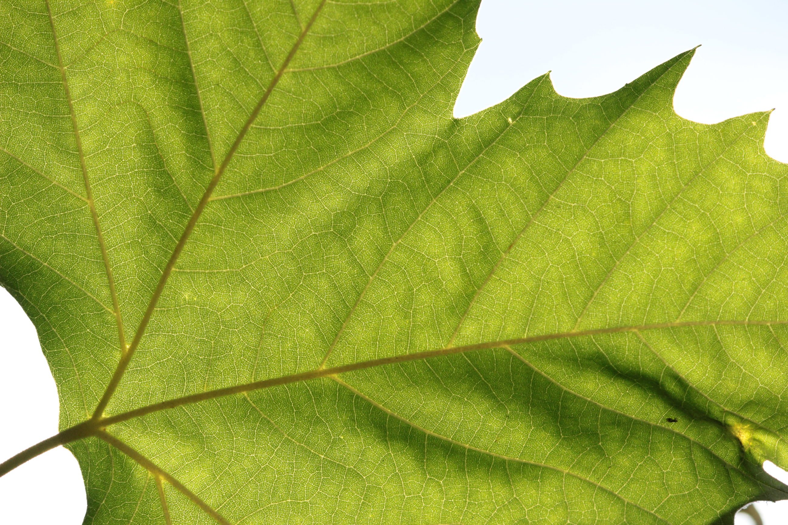leaf, plant part, green color, close-up, leaf vein, plant, growth, no people, nature, day, beauty in nature, natural pattern, outdoors, pattern, leaves, fragility, tree, botany, backgrounds, low angle view, maple leaf