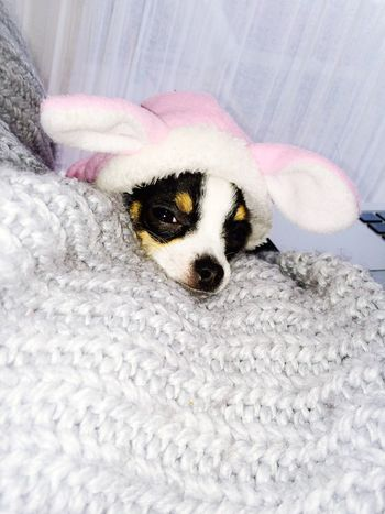 Chihuahua I Love My Pets Home Winter Bunny  Easter Pink BabyChihuahua Pets Chilling